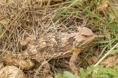 Arizona Horned Toad in Grass. A cute Arizona horned toad lizard Stock Photo