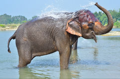 Cute Asian elephant blowing water out of his trunk in Chitwan N. Royalty Free Stock Images