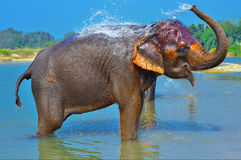 Cute Asian elephant blowing water out of his trunk Royalty Free Stock Photos