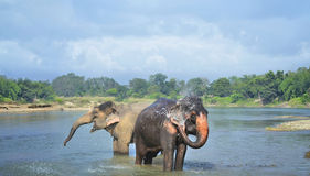 Cute Asian elephants blowing water out of his trunk Royalty Free Stock Photography