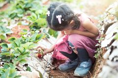 Cute asian little child girl picking fresh strawberries. On organic strawberry farm Royalty Free Stock Photography