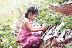 Cute asian little child girl picking fresh strawberries. On organic strawberry farm Stock Images