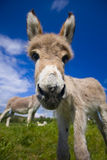 Cute Ass. Inquisitive little donkey in a green field Royalty Free Stock Photography