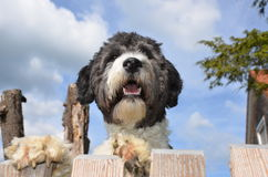 Cute Aussiedoodle Royalty Free Stock Photo