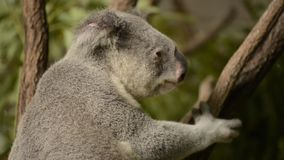 Cute Australian Koala resting during the day. Cute Australian Koala in a tree resting during the day stock video footage