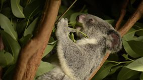 Cute Australian Koala resting during the day. Cute Australian Koala in a tree resting during the day stock video