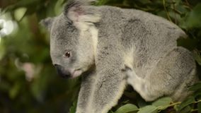 Cute Australian Koala resting during the day. stock video