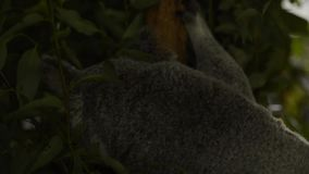 Cute Australian Koala resting during the day. Cute Australian Koala in a tree resting during the day stock footage