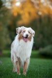 Cute australian shepherd Royalty Free Stock Images