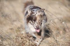 Cute Australian Shepherd dog Royalty Free Stock Photo