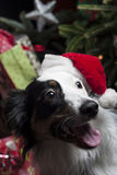 A cute Australian Shepherd in front of a christmas tree with a s Royalty Free Stock Photos