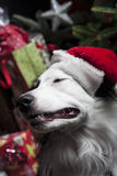 A cute Australian Shepherd in front of a christmas tree with a s Stock Photos