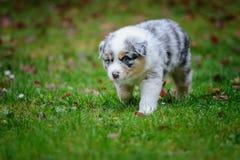 Cute Australian Shepherd puppy exploring world oustide home Royalty Free Stock Photo