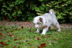 Cute Australian Shepherd puppy exploring world oustide home Royalty Free Stock Photography