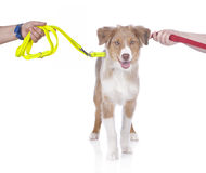 Cute australian shepherd puppy in between two leashes - divorce Stock Image