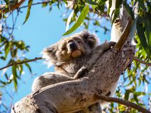 Cute Australian sleepy koala bear royalty free stock photography