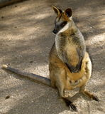 Cute Australian wallaby. Cute little brown, grey and white with red eyes wallaby native to Australia Stock Images