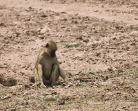 Cute baboon digging in dirt Royalty Free Stock Images