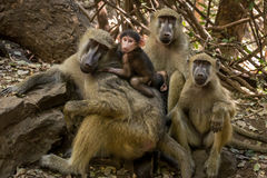Cute baboons family Stock Photos