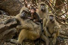 Cute baboons family stock photos