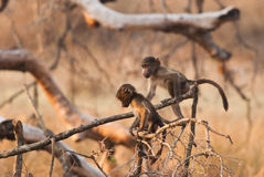 Cute baboons Stock Images