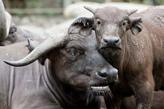 Cute baby African buffalo with it's mother frontal Stock Image