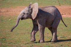 Cute Baby African Elephant Stock Photography