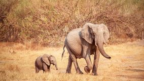A cute baby African elephant walks near its mother in Botswana. stock image