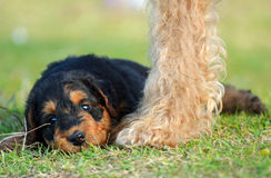 Cute baby Airedale Terrier puppy contented with mother dog protecting her Stock Photo
