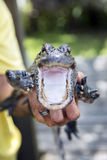 Cute baby alligator. Royalty Free Stock Photos