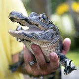 Cute baby alligator. Stock Images