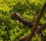 Cute baby alligator in undergrowth stock photos