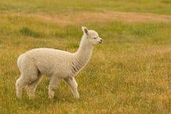 Cute baby alpaca farm animal. Over green glass Royalty Free Stock Photography
