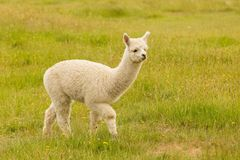 Cute baby alpaca on green glass Royalty Free Stock Photography