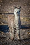 Cute baby alpaca lamp portrait in Bolivia. Cute baby alpaca lamp portrait, in Bolivia stock photo