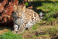 Cute Baby Amur Leopard Cub Chewing Grass Royalty Free Stock Photo