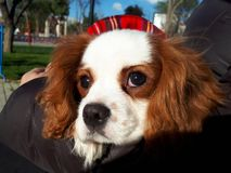 King charles cavalier portrait. Cute baby animals Royalty Free Stock Photos