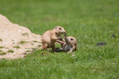 Cute baby animals playing. Marmot prairie dogs having fun together. Young black-tailed prairie marmots play fighting on grass royalty free stock photography