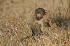 Cute baby baboon sit in brown grass learning about nature what t Stock Photos