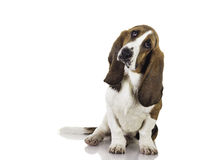 Cute baby Basset dog Stock Photos
