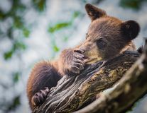 Cute baby bear cub licks his paw