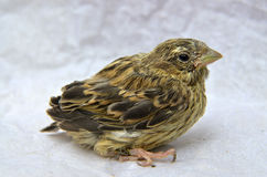 Cute  baby bird of house sparrow. Picture of a cute  baby bird of house sparrow Stock Image