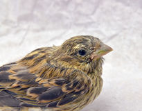 Cute  baby bird of house sparrow. Picture of a cute  baby bird of house sparrow Royalty Free Stock Photo
