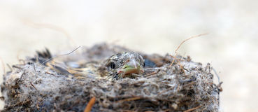 Cute  baby bird of house sparrow. Picture of a cute  baby bird of house sparrow Royalty Free Stock Photography