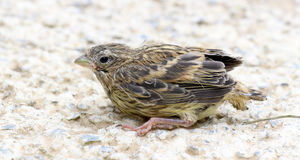 Cute  baby bird of house sparrow. Picture of a cute  baby bird of house sparrow Stock Photography