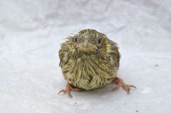 Cute  baby bird of house sparrow. Picture of a cute  baby bird of house sparrow Royalty Free Stock Photos