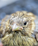 Cute  baby bird of house sparrow. Picture of a cute  baby bird of house sparrow Royalty Free Stock Images