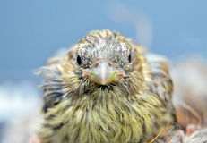 Cute  baby bird of house sparrow Stock Photos