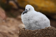 Cute baby of Black-browed albatross, Thalassarche melanophris, sitting on clay nest on the Falkland Islands Royalty Free Stock Images