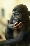 Cute baby Bonobo monkey Stock Images